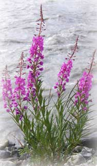 Fireweed Picture